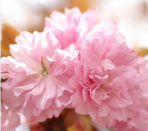 Pink cherry blossom - ornamental and delightful.